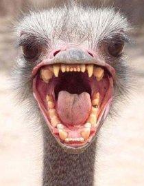 Ostrich head - careful, they bite