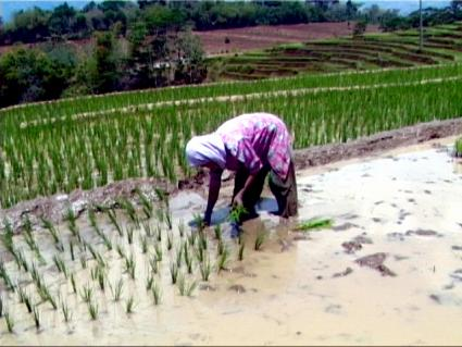 rice_paddy_worker