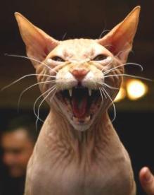 cat.vicious